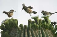 Cactus Wren and saguro flowers