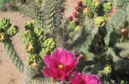 Stag horn cholla flower