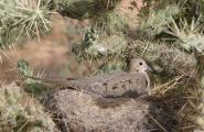 Nesting Dove in Chain Fruit Cholla Cactus