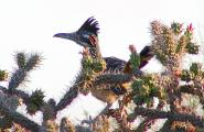 Road Runner in Staghorn Cholla cactus